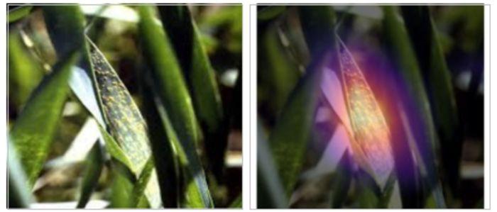 Abbildung 2: Erkennung von Weizenrost mit computer vision