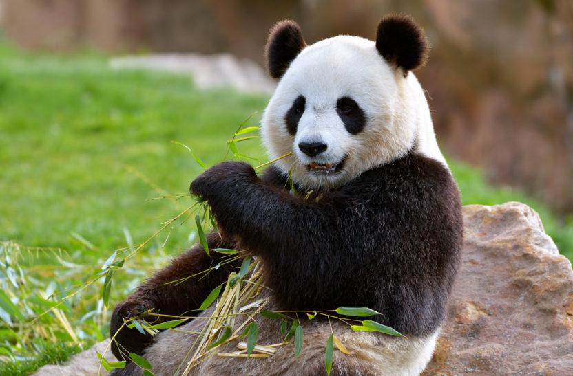 Panda Titelbild
