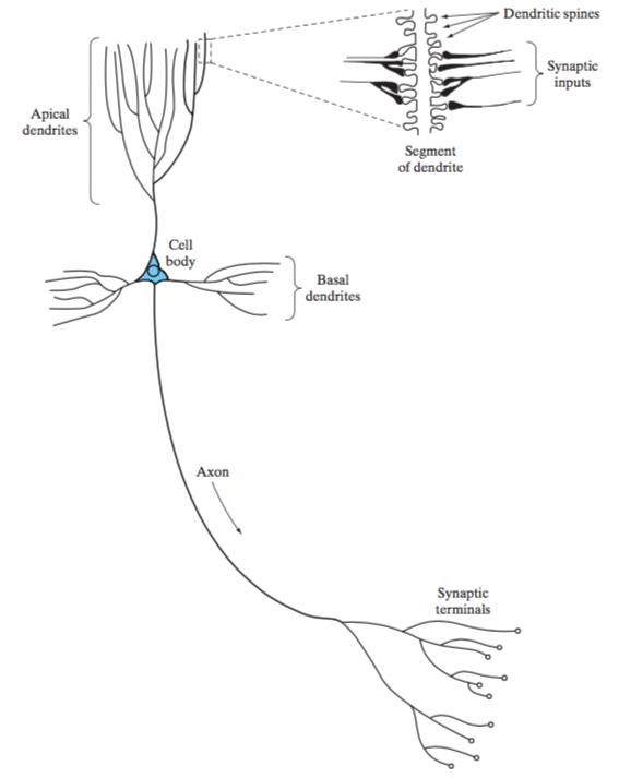 Darstellung Pyramidenzelle
